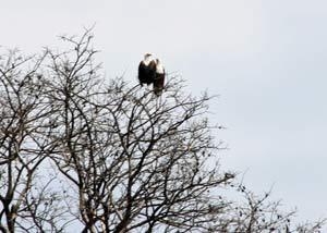 Fiskeørn i træets top